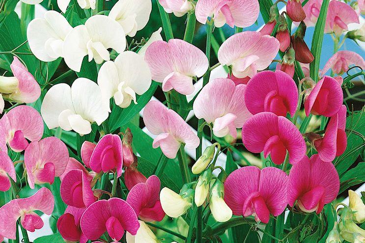 Lathyrus odoratus o Alverjilla de olor