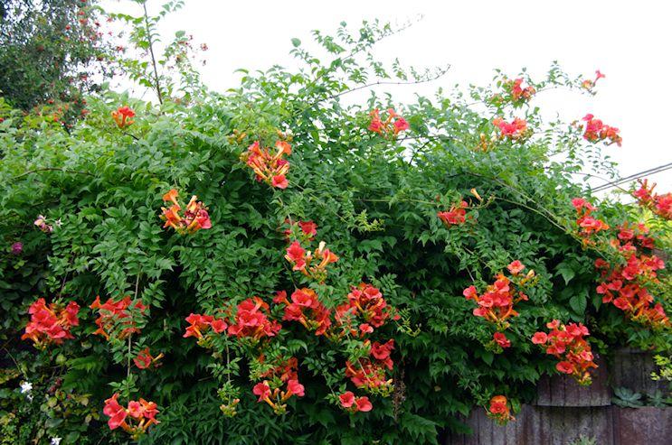 Jardinería Y Plantas 10 Enredaderas Y Plantas Trepadoras Con Flores