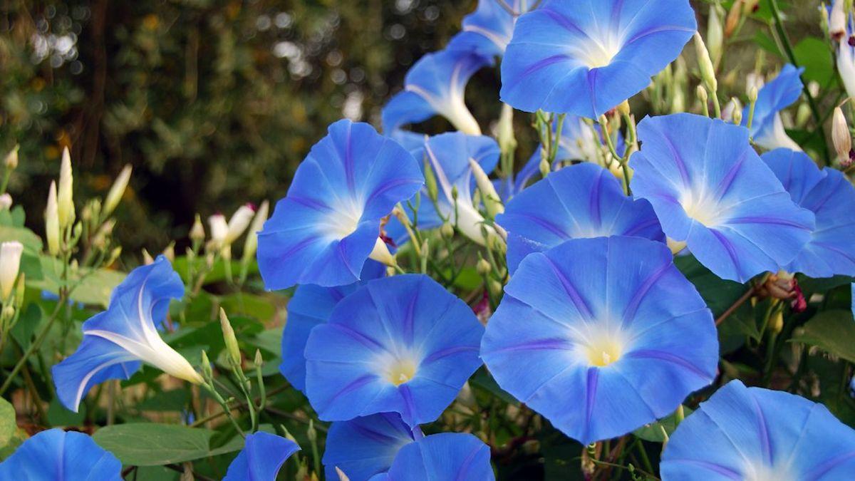 Jardineria Y Plantas 10 Enredaderas Y Plantas Trepadoras Con Flores