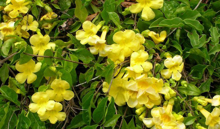 Macfadyena unguis-cati (Uña de gato)