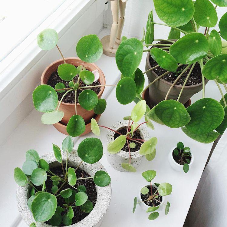 Plantas de interior: Pilea peperomioides o Planta china del dinero