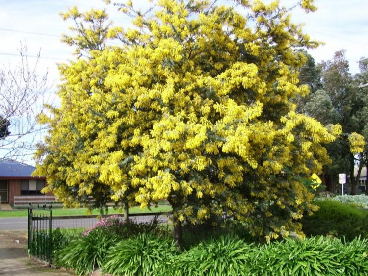Acacia baileyana (Aromo)