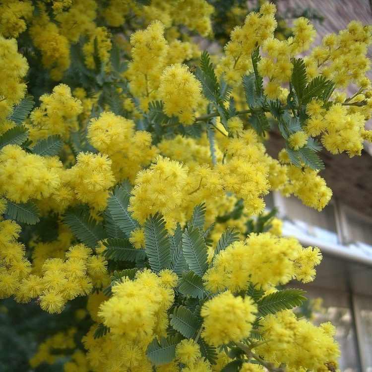 El árbol de Acacia baileyana (Aromo) destaca por su gran cantidad de flores amarillas y su follaje verde grisáceso.