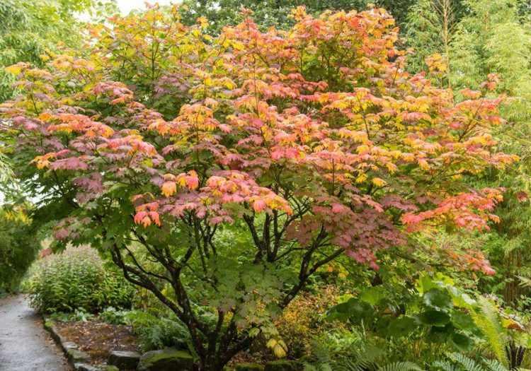 Acer palmatum (Arce japonés)