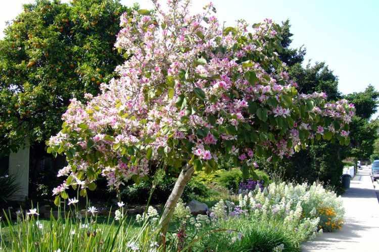 Bauhinia variegata (Árbol de las orquídeas)