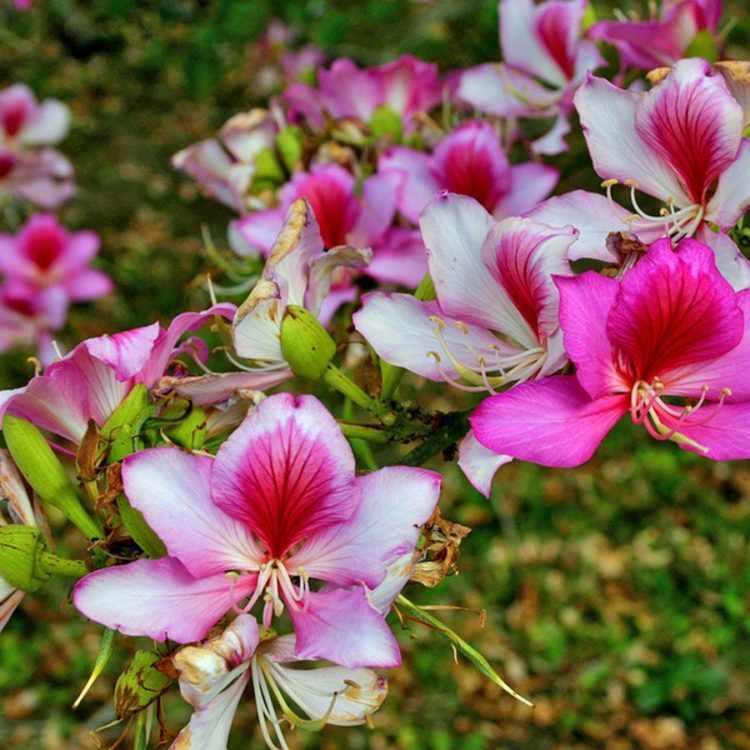 Flores del Bauhinia variegata (Árbol de las orquídeas)