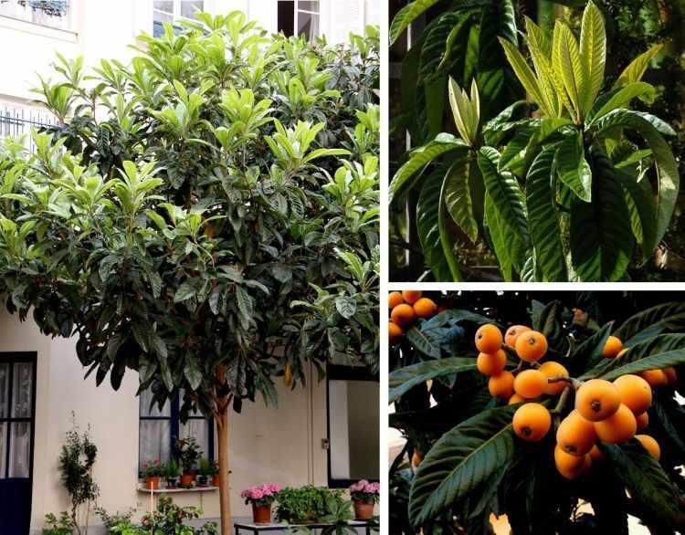 Eriobotrya japonica - Níspero: árbol pequeño de valor ornamental tanto por su follaje que se mantiene todo el año como por sus frutos coloridos.