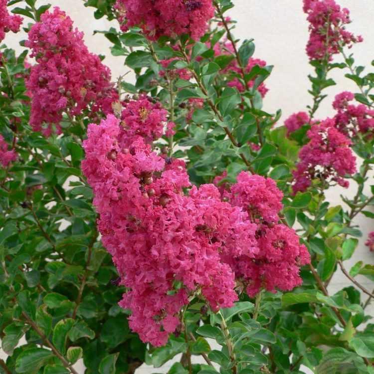 Flores de la Lagerstroemia indica o Crespón