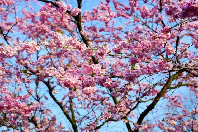 Flores sobre las ramas desnudas del Prunus serrulata (Cerezo de flor)