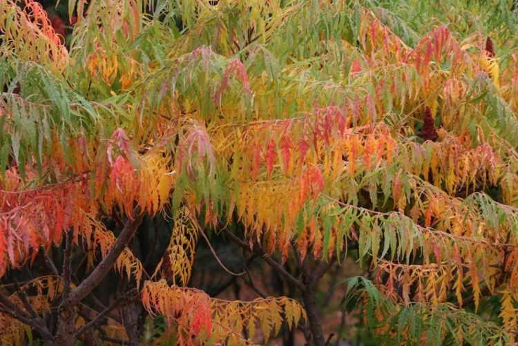 Follaje en tonos rojizos, amarillentos y anaranjados del Rhus typhina (Rhus)
