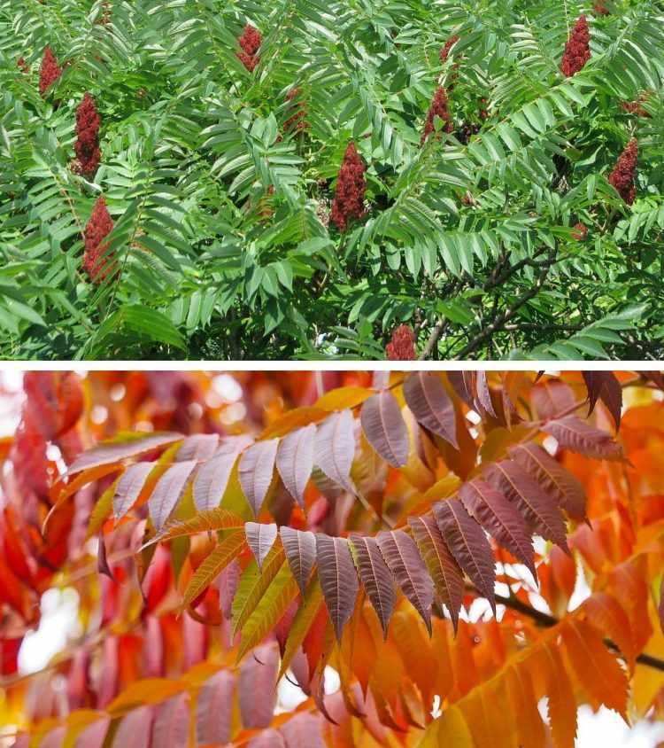 Frutos del árbol Rhus typhina (Rhus)