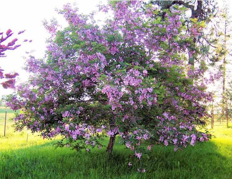 Robinia hispida (Acacia rosada)