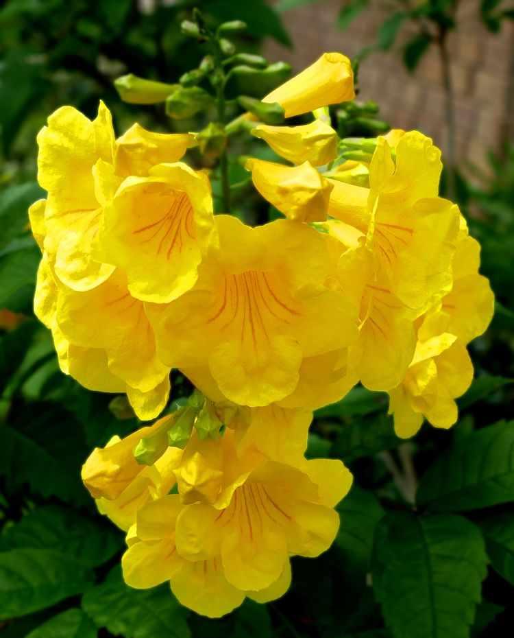 Flores del Tecoma stans (Guarán amarillo)