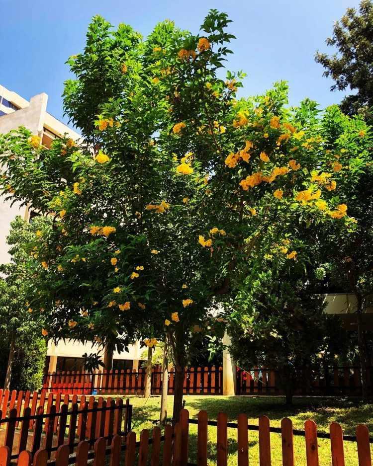 Tecoma stans (Guarán amarillo)