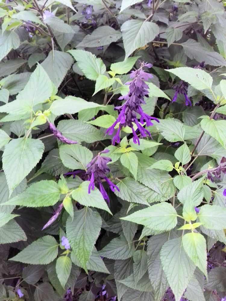 Detalle de la flor de la Salvia guaranítica