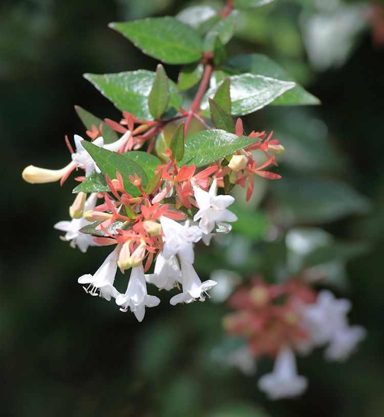 Flor de la Abelia x grandiflora
