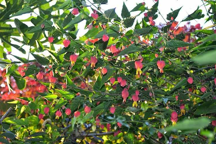 Abutilon megapotamicum - Farolito chino