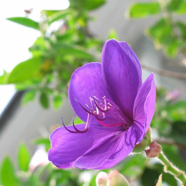 Flor de la Tibuchina