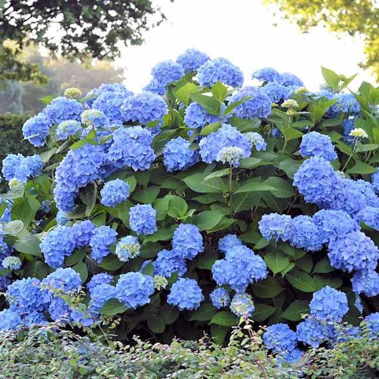 El Ph del suelo determinará el color de las flores de la hortensia