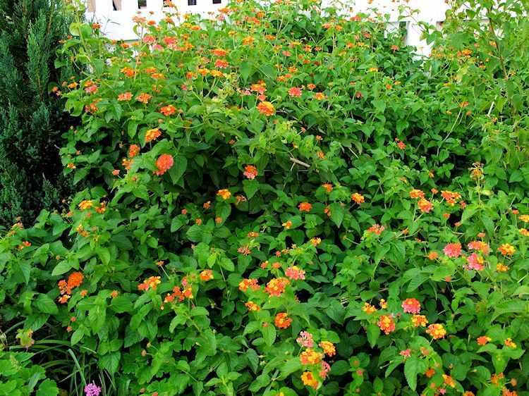 10 arbustos con flores de crecimiento rápido