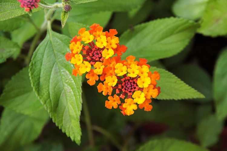 Detalle de la flor multicolor de la Lantana