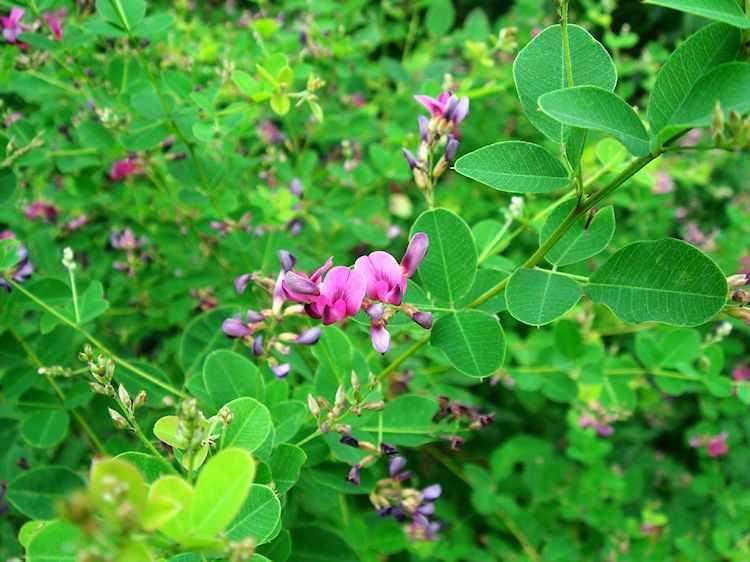 Flor de la Lespedeza bicolor